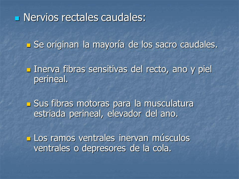 Nervios rectales caudales: