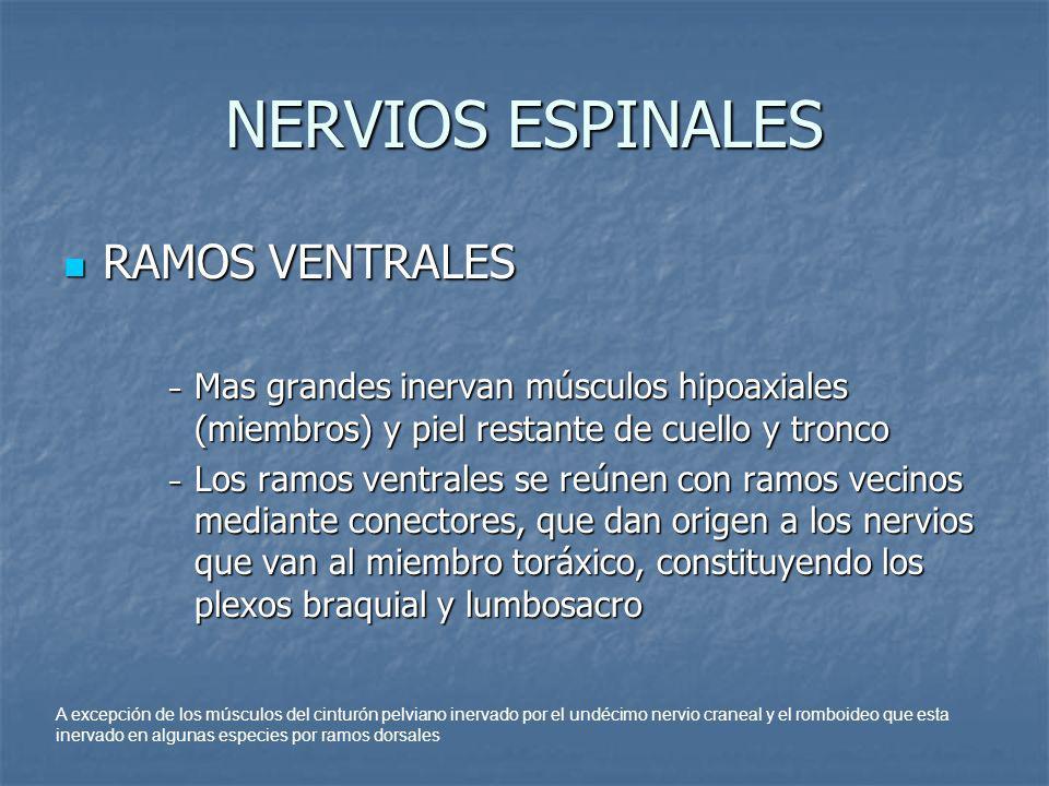 NERVIOS ESPINALES RAMOS VENTRALES