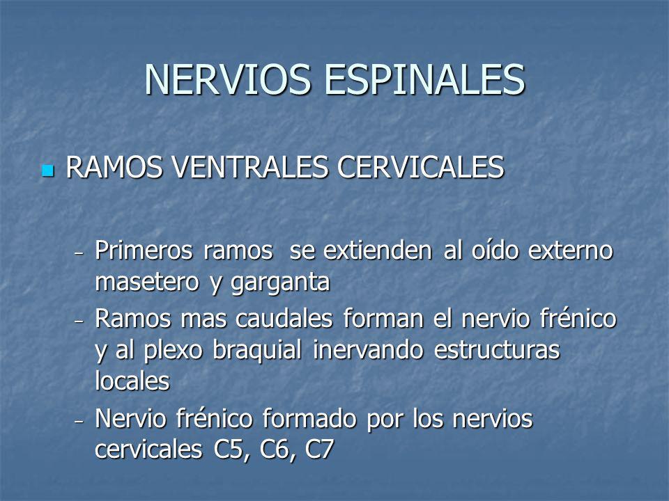 NERVIOS ESPINALES RAMOS VENTRALES CERVICALES