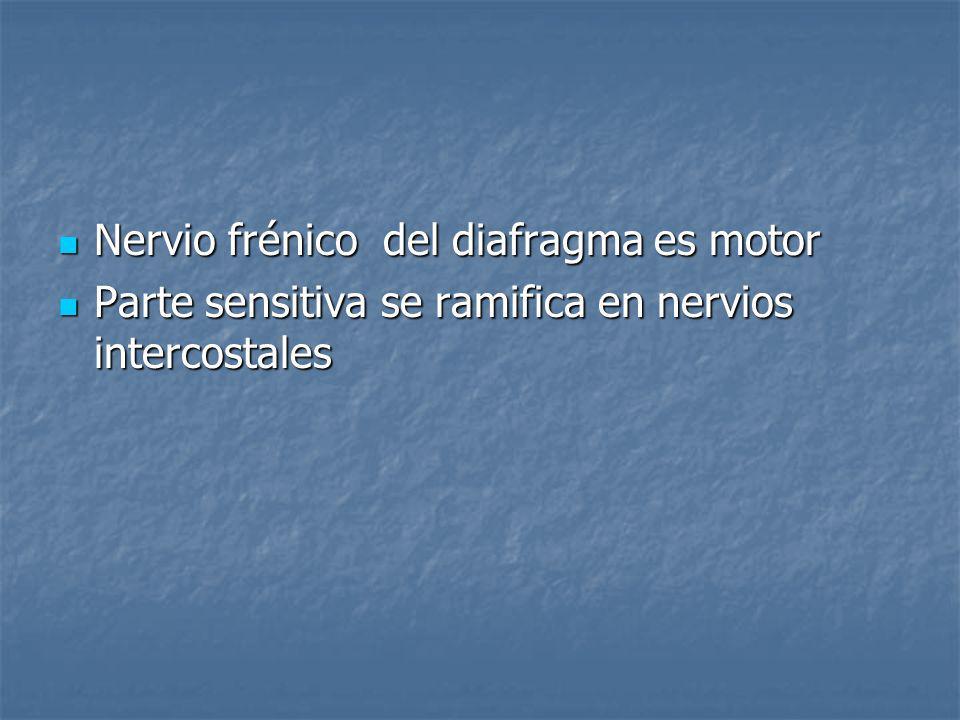 Nervio frénico del diafragma es motor