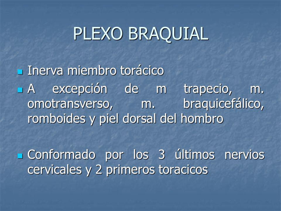 PLEXO BRAQUIAL Inerva miembro torácico