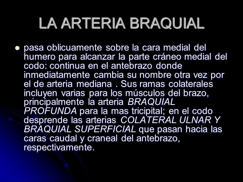 LA ARTERIA BRAQUIAL