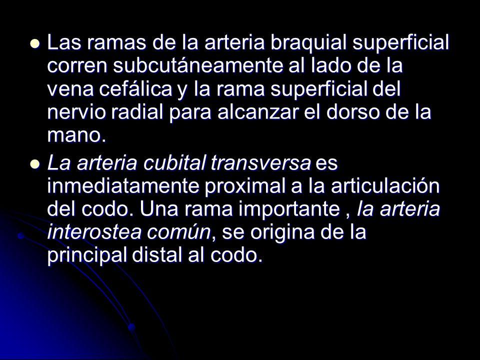 Las ramas de la arteria braquial superficial corren subcutáneamente al lado de la vena cefálica y la rama superficial del nervio radial para alcanzar el dorso de la mano.