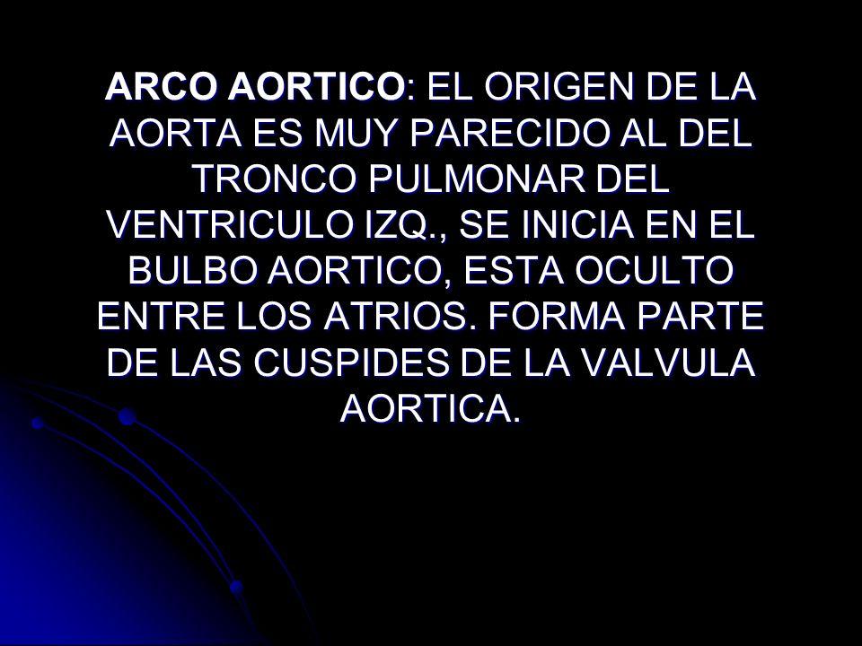 ARCO AORTICO: EL ORIGEN DE LA AORTA ES MUY PARECIDO AL DEL TRONCO PULMONAR DEL VENTRICULO IZQ., SE INICIA EN EL BULBO AORTICO, ESTA OCULTO ENTRE LOS ATRIOS.