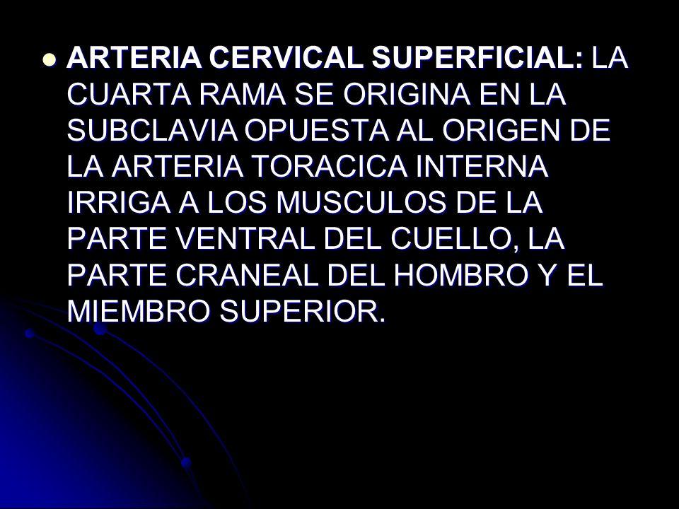 ARTERIA CERVICAL SUPERFICIAL: LA CUARTA RAMA SE ORIGINA EN LA SUBCLAVIA OPUESTA AL ORIGEN DE LA ARTERIA TORACICA INTERNA IRRIGA A LOS MUSCULOS DE LA PARTE VENTRAL DEL CUELLO, LA PARTE CRANEAL DEL HOMBRO Y EL MIEMBRO SUPERIOR.