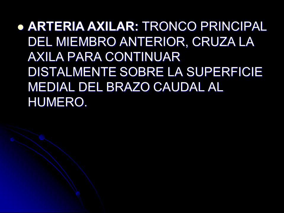 ARTERIA AXILAR: TRONCO PRINCIPAL DEL MIEMBRO ANTERIOR, CRUZA LA AXILA PARA CONTINUAR DISTALMENTE SOBRE LA SUPERFICIE MEDIAL DEL BRAZO CAUDAL AL HUMERO.