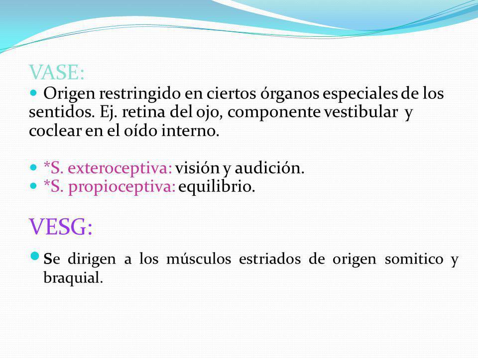 se dirigen a los músculos estriados de origen somitico y braquial.
