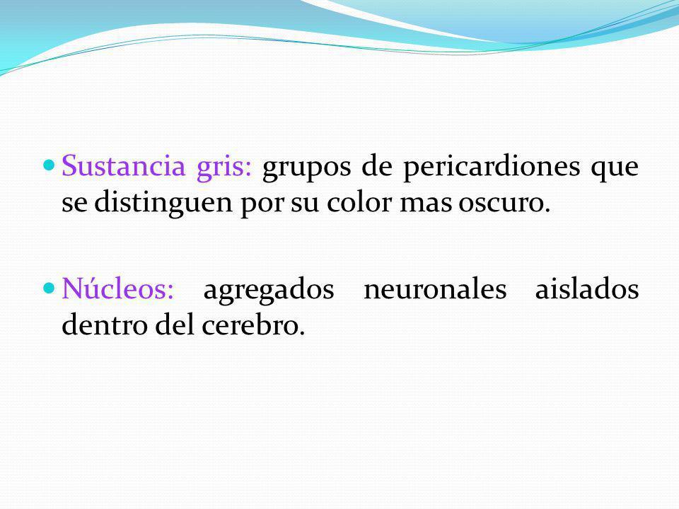 Sustancia gris: grupos de pericardiones que se distinguen por su color mas oscuro.