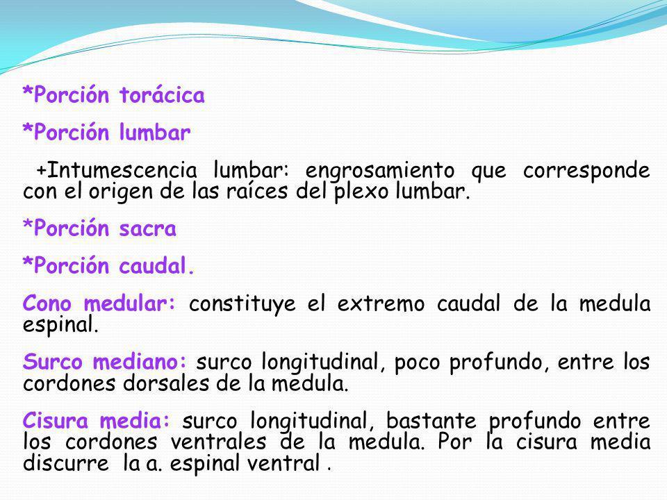 *Porción torácica *Porción lumbar. +Intumescencia lumbar: engrosamiento que corresponde con el origen de las raíces del plexo lumbar.