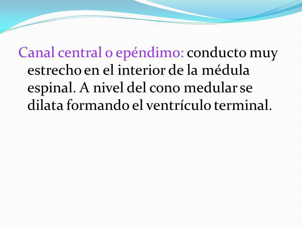 Canal central o epéndimo: conducto muy estrecho en el interior de la médula espinal.