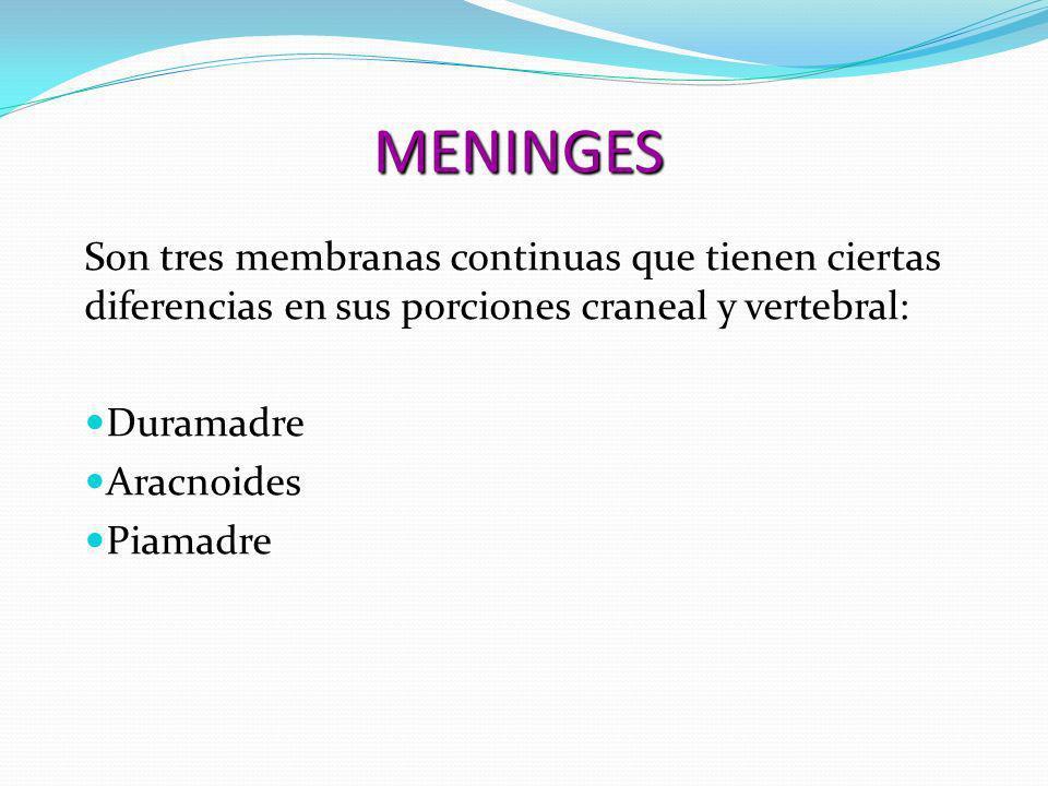 MENINGES Son tres membranas continuas que tienen ciertas diferencias en sus porciones craneal y vertebral: