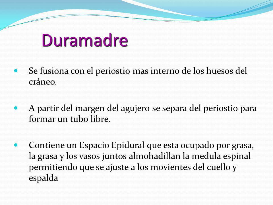 Duramadre Se fusiona con el periostio mas interno de los huesos del cráneo.