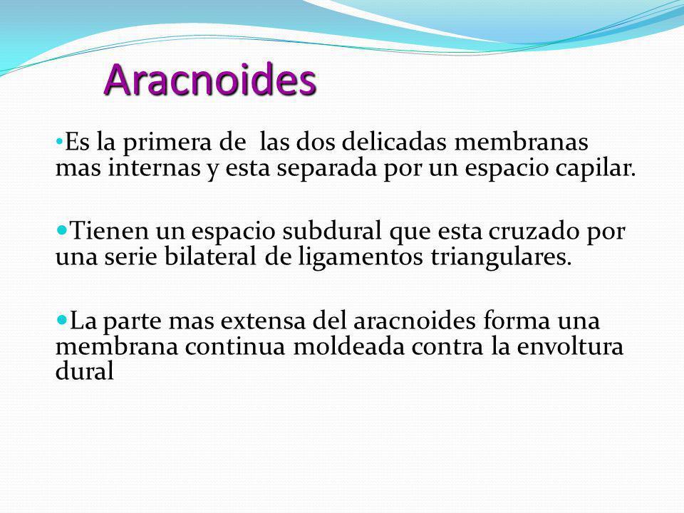 Aracnoides Es la primera de las dos delicadas membranas mas internas y esta separada por un espacio capilar.