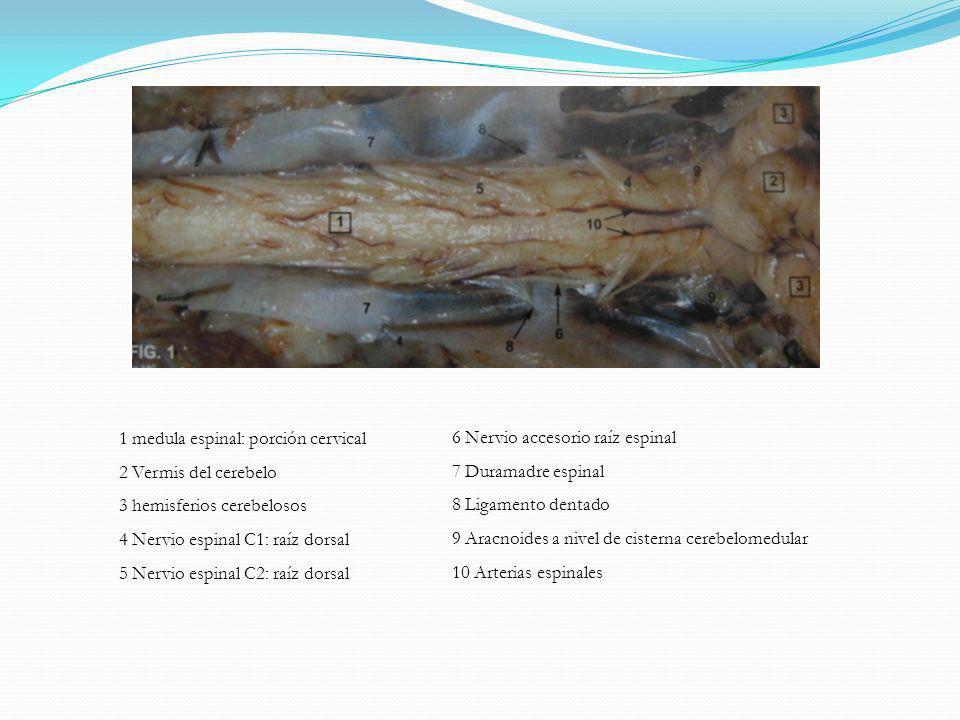 1 medula espinal: porción cervical