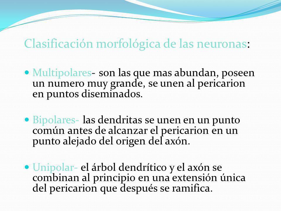 Clasificación morfológica de las neuronas: