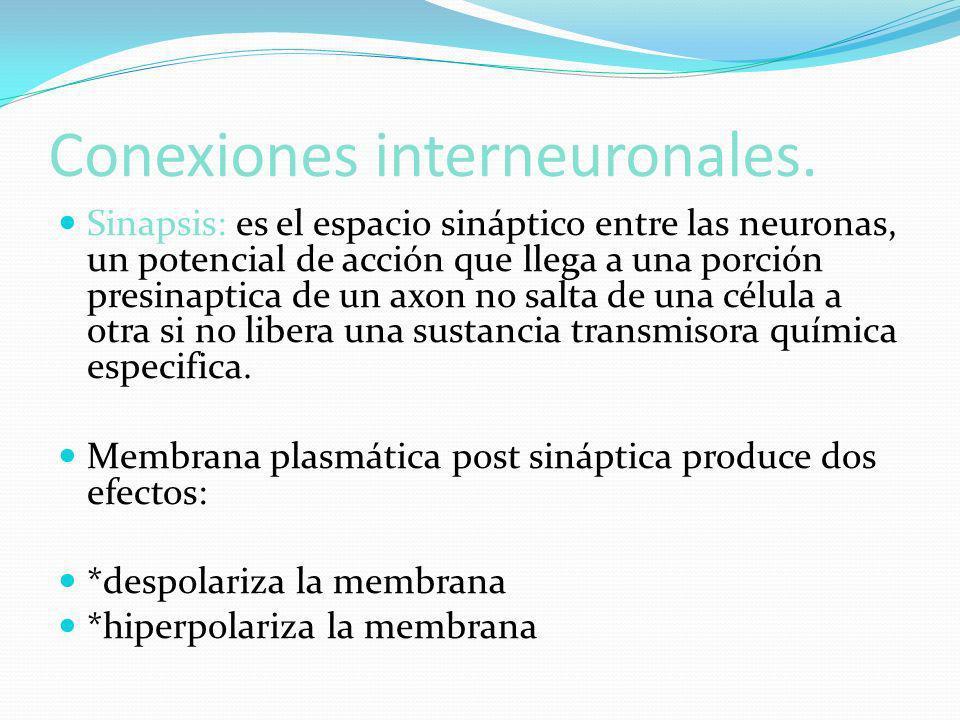 Conexiones interneuronales.