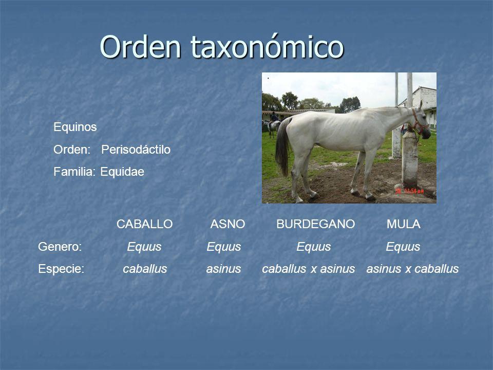 Orden taxonómico Equinos Orden: Perisodáctilo Familia: Equidae