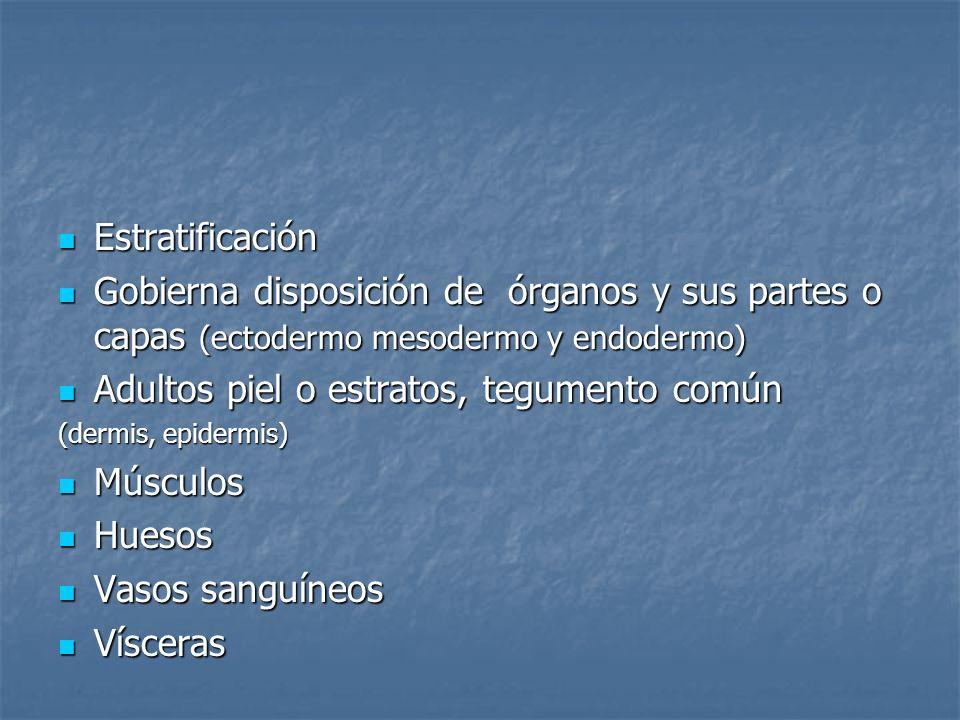 Adultos piel o estratos, tegumento común Músculos Huesos