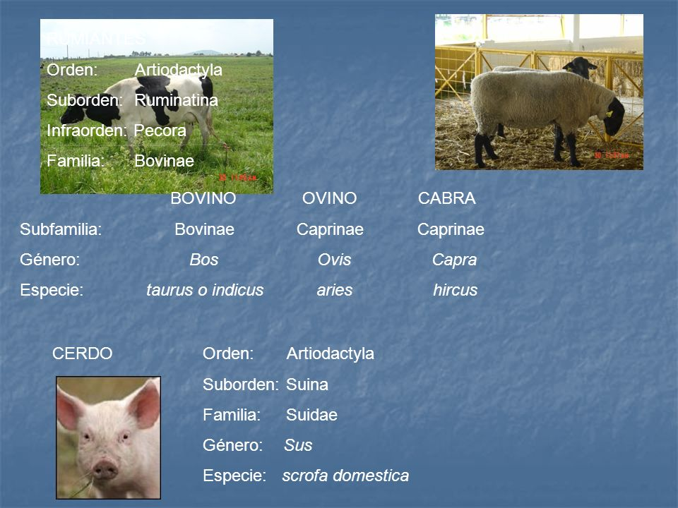 RUMIANTESOrden: Artiodactyla. Suborden: Ruminatina. Infraorden: Pecora. Familia: Bovinae.