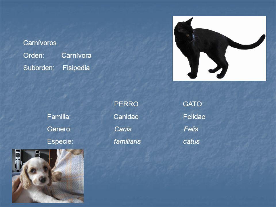 Carnívoros Orden: Carnívora. Suborden: Fisipedia. PERRO GATO.