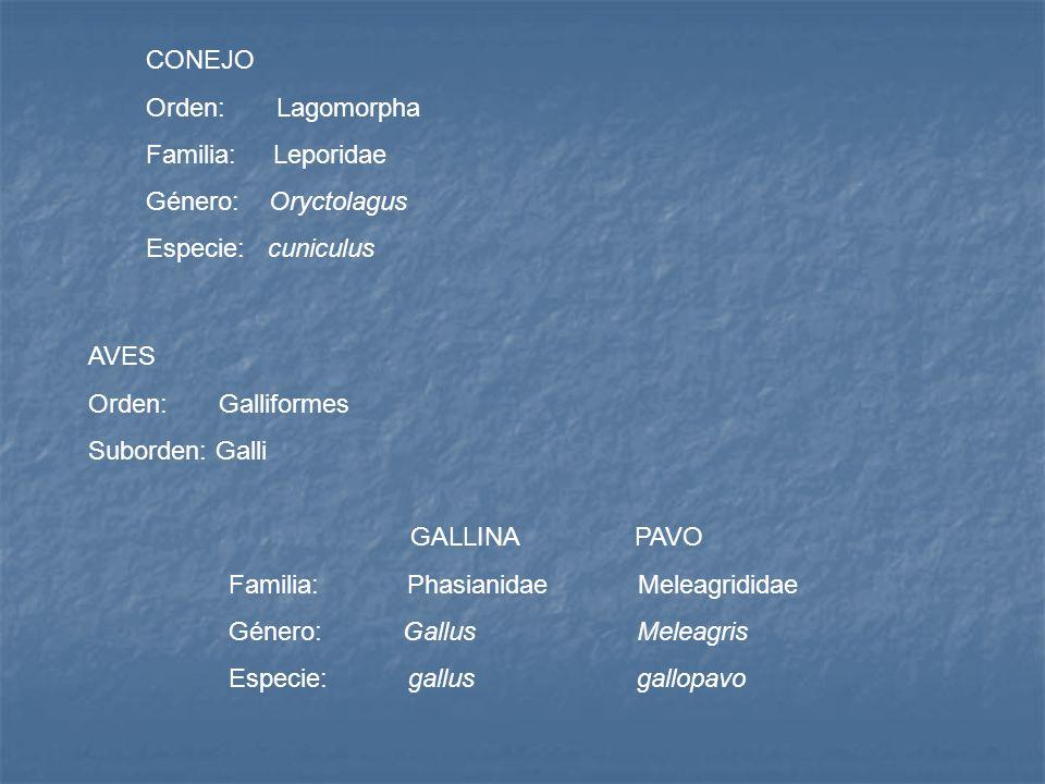 CONEJOOrden: Lagomorpha. Familia: Leporidae. Género: Oryctolagus. Especie: cuniculus.