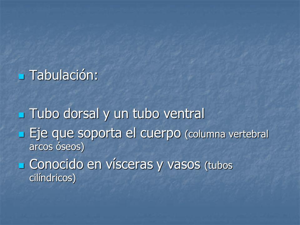 Tabulación:Tubo dorsal y un tubo ventral. Eje que soporta el cuerpo (columna vertebral arcos óseos)