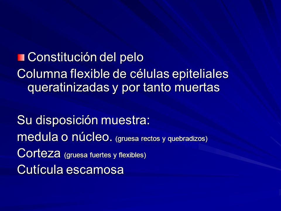 Constitución del pelo Columna flexible de células epiteliales queratinizadas y por tanto muertas. Su disposición muestra: