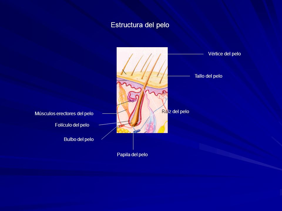 Estructura del pelo Vértice del pelo Tallo del pelo Raíz del pelo
