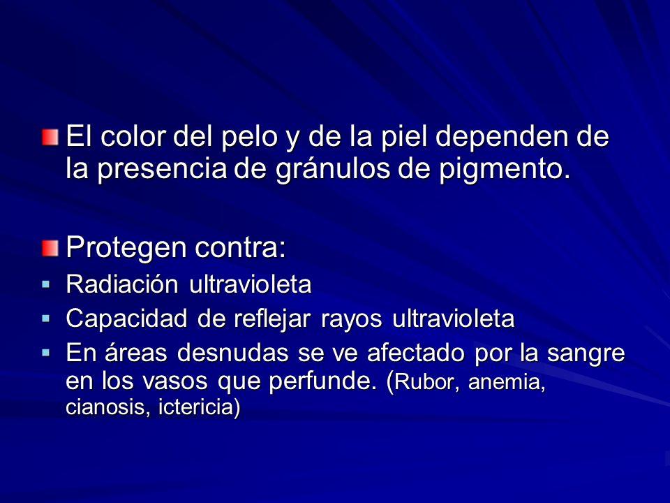El color del pelo y de la piel dependen de la presencia de gránulos de pigmento.