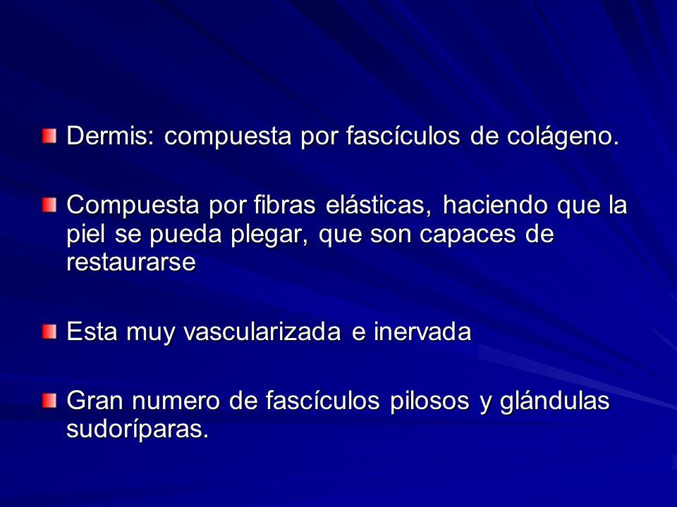 Dermis: compuesta por fascículos de colágeno.