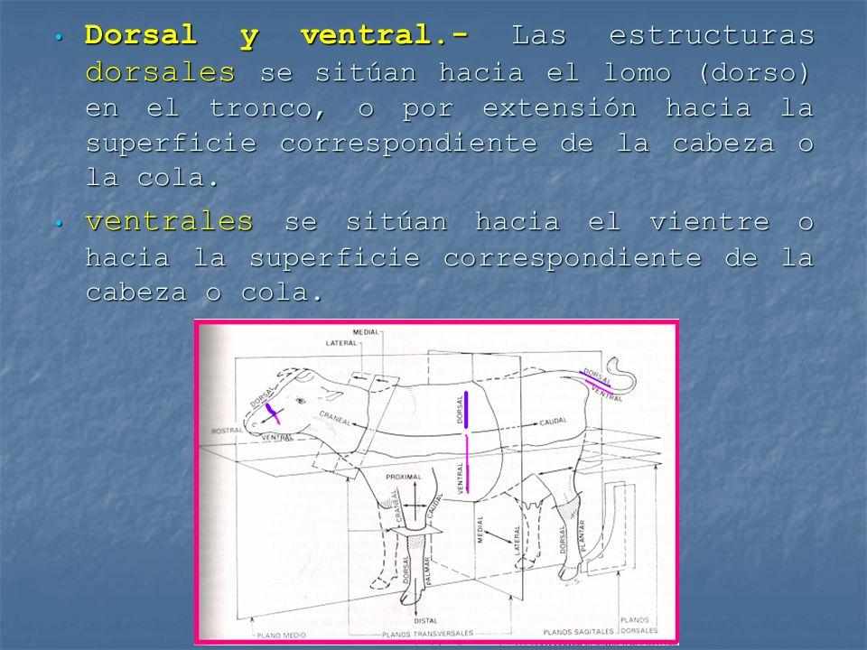 Dorsal y ventral.- Las estructuras dorsales se sitúan hacia el lomo (dorso) en el tronco, o por extensión hacia la superficie correspondiente de la cabeza o la cola.