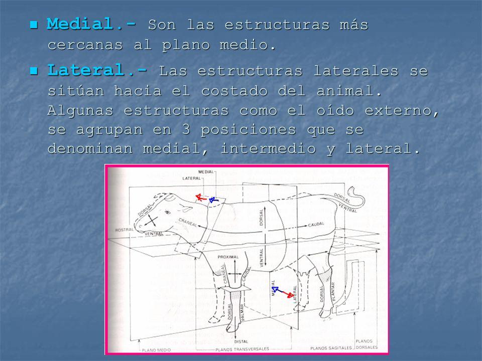 Medial.- Son las estructuras más cercanas al plano medio.