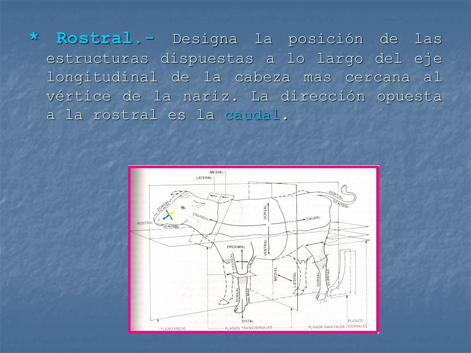 * Rostral.- Designa la posición de las estructuras dispuestas a lo largo del eje longitudinal de la cabeza mas cercana al vértice de la nariz.