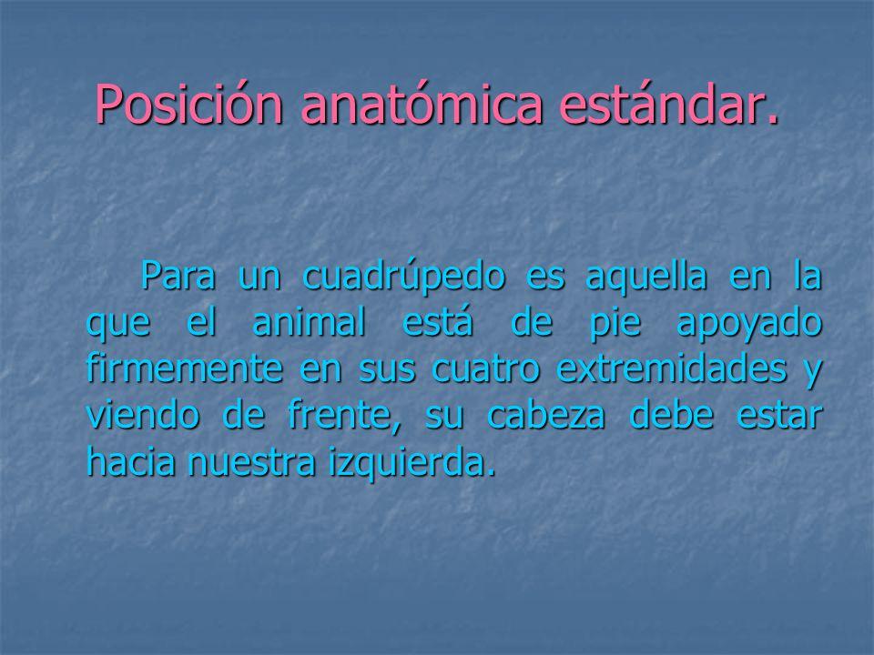 Posición anatómica estándar.