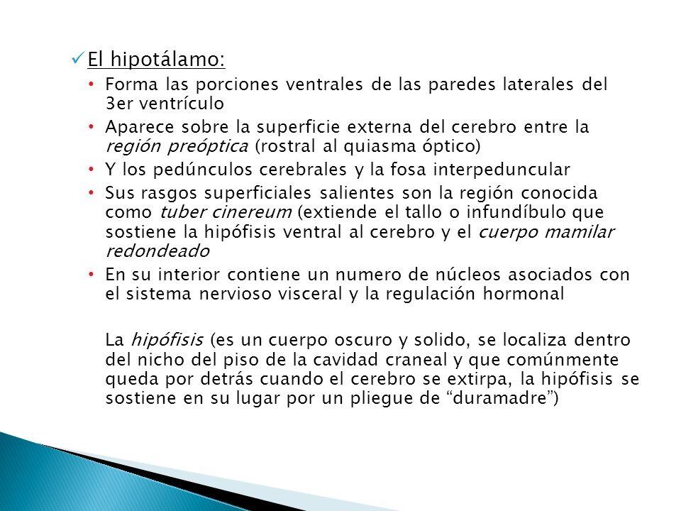 El hipotálamo:Forma las porciones ventrales de las paredes laterales del 3er ventrículo.