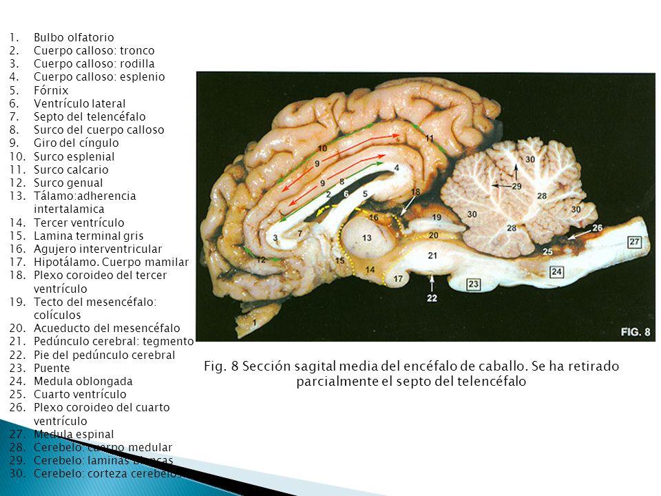 Bulbo olfatorio Cuerpo calloso: tronco. Cuerpo calloso: rodilla. Cuerpo calloso: esplenio. Fórnix.