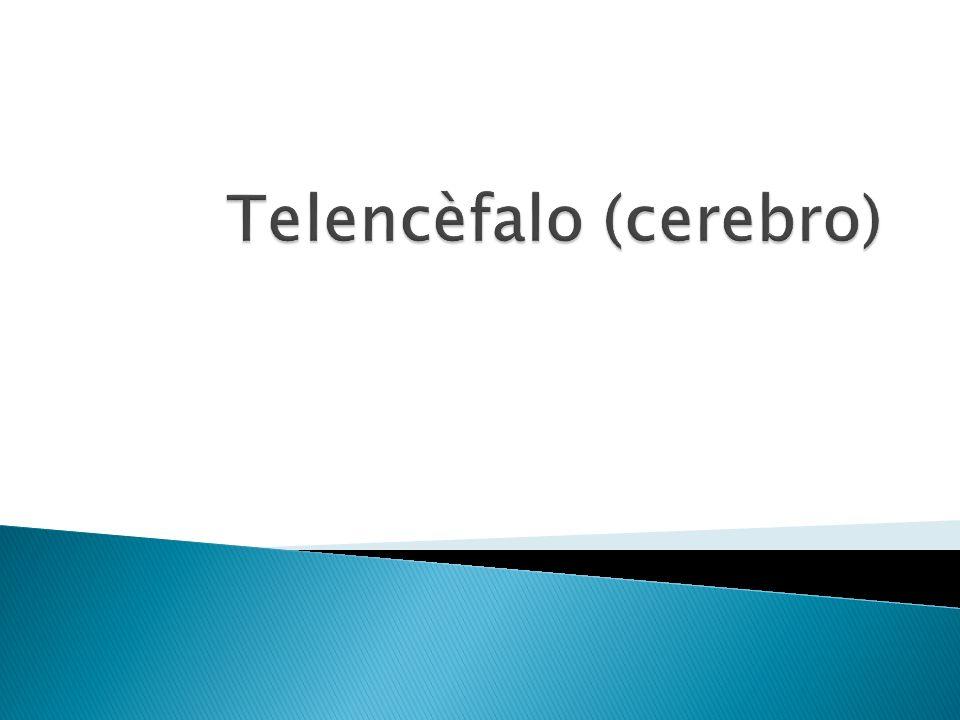 Telencèfalo (cerebro)