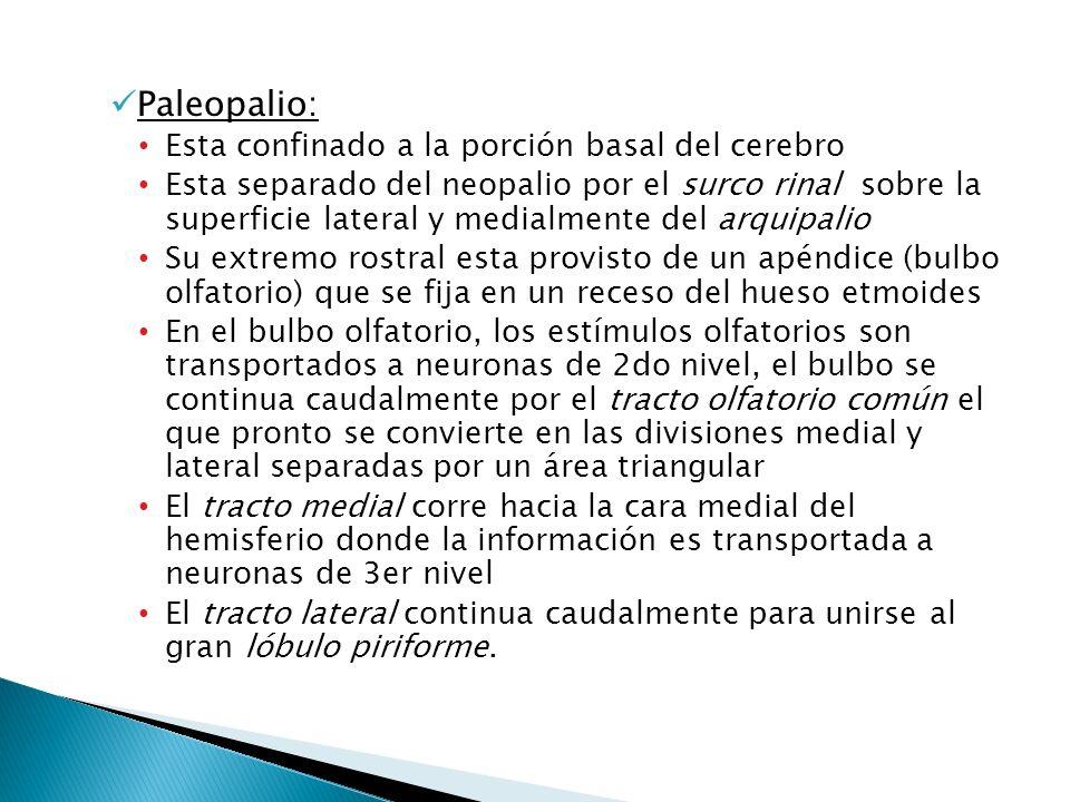 Paleopalio: Esta confinado a la porción basal del cerebro