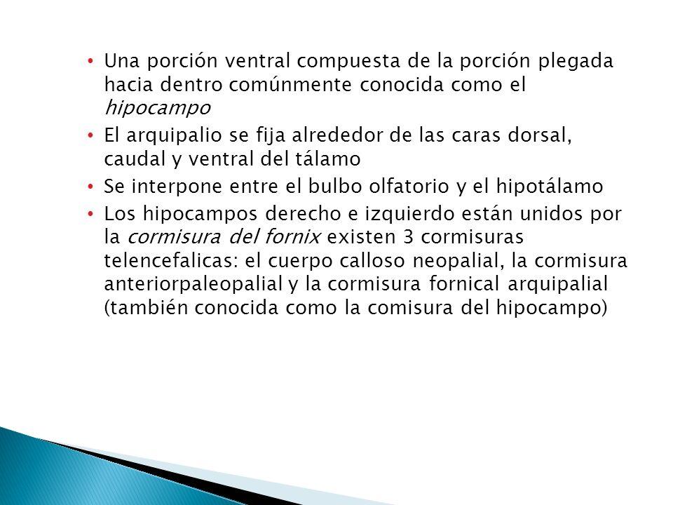 Una porción ventral compuesta de la porción plegada hacia dentro comúnmente conocida como el hipocampo
