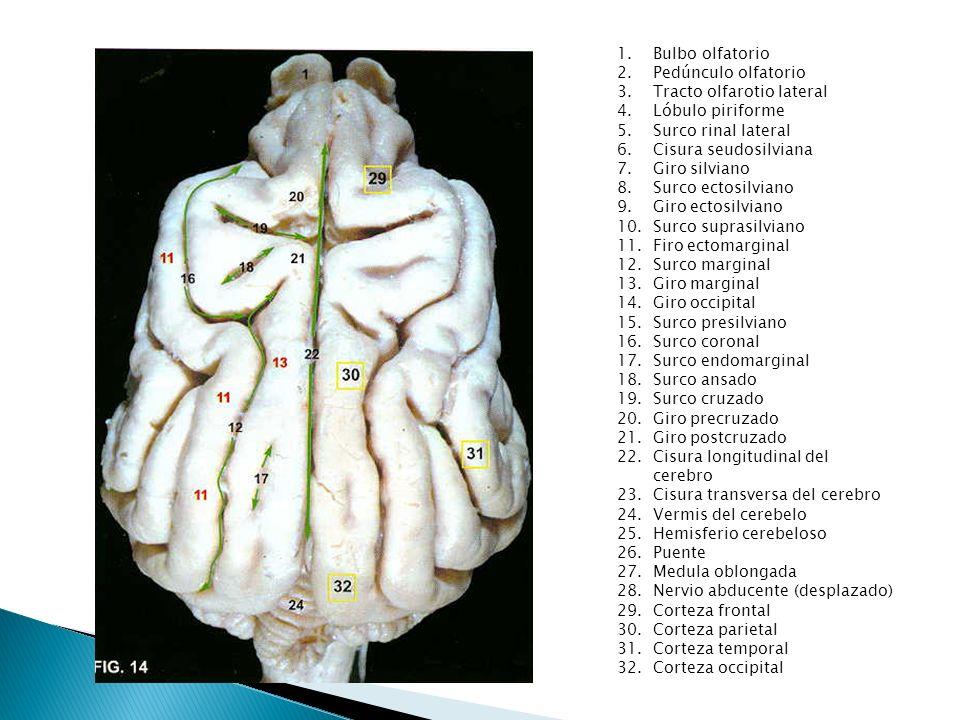 Bulbo olfatorioPedúnculo olfatorio. Tracto olfarotio lateral. Lóbulo piriforme. Surco rinal lateral.