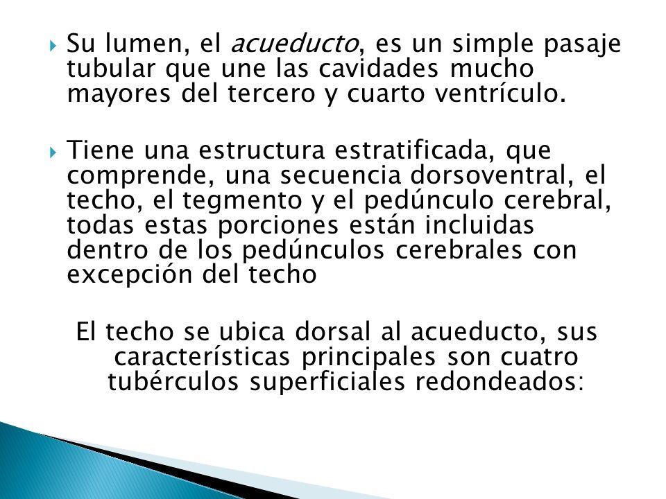 Su lumen, el acueducto, es un simple pasaje tubular que une las cavidades mucho mayores del tercero y cuarto ventrículo.