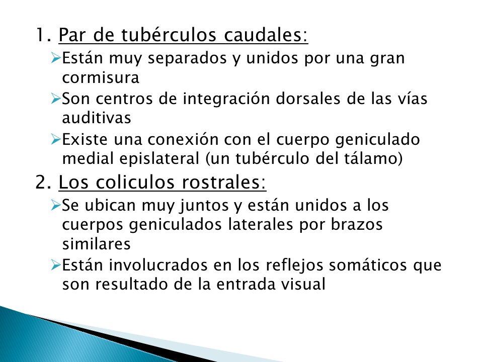 1. Par de tubérculos caudales: