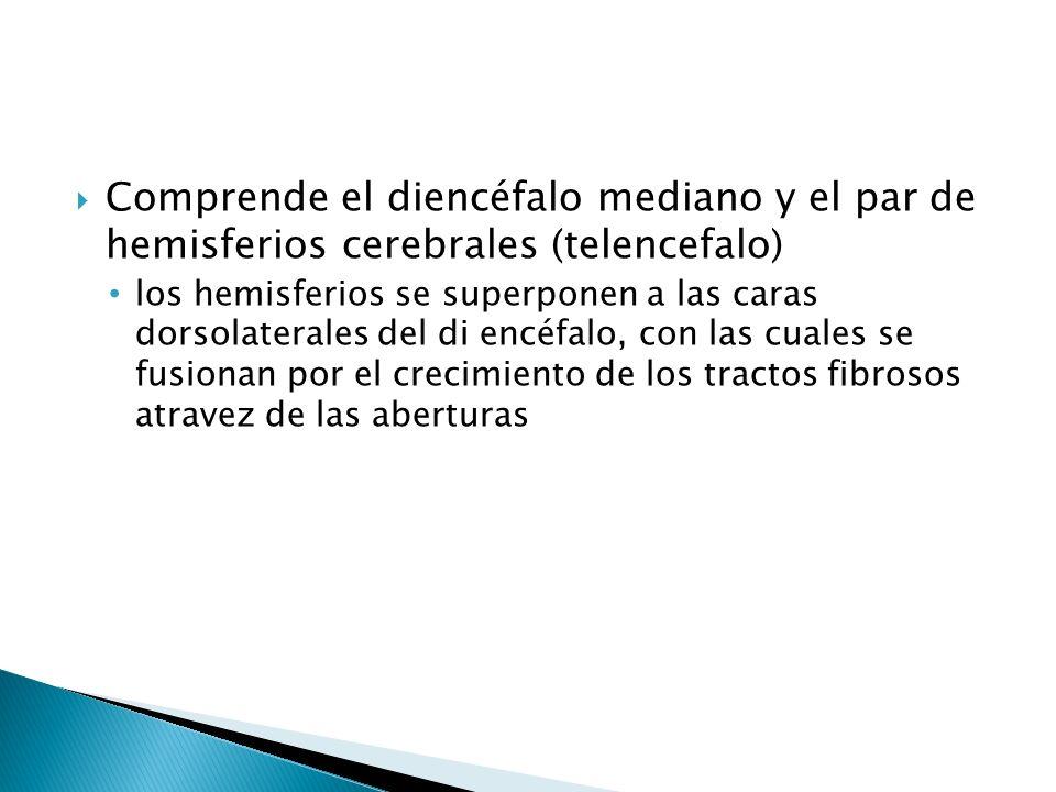 Comprende el diencéfalo mediano y el par de hemisferios cerebrales (telencefalo)