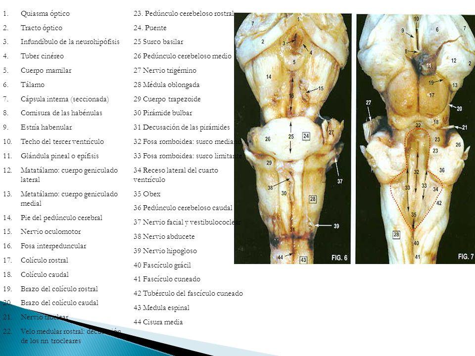 Quiasma óptico Tracto óptico. Infundíbulo de la neurohipófisis. Tuber cinéreo. Cuerpo mamilar. Tálamo.