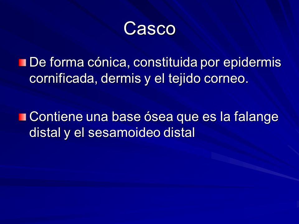 Casco De forma cónica, constituida por epidermis cornificada, dermis y el tejido corneo.