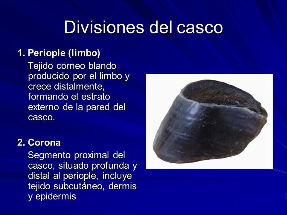 Divisiones del casco 1. Periople (limbo)