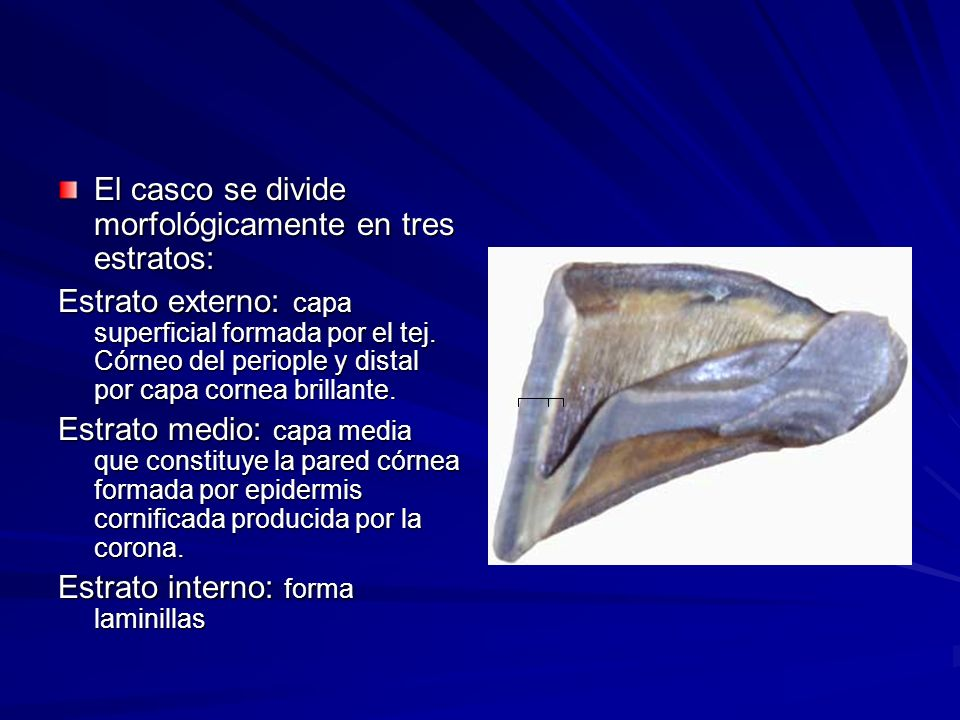 El casco se divide morfológicamente en tres estratos: