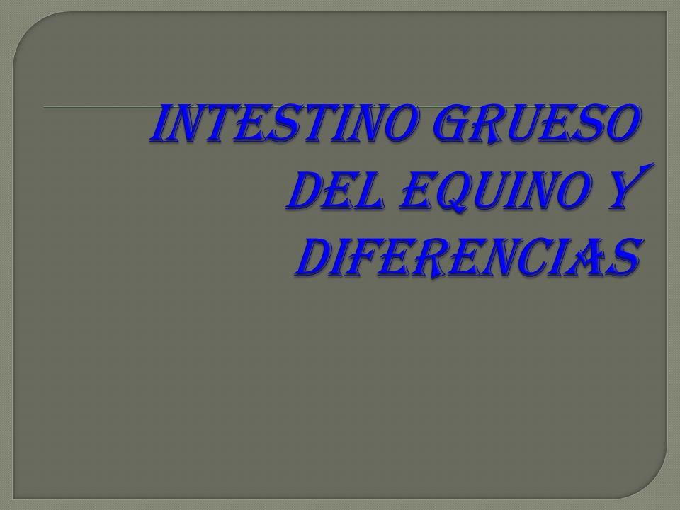 INTESTINO GRUESO DEL EQUINO Y DIFERENCIAS