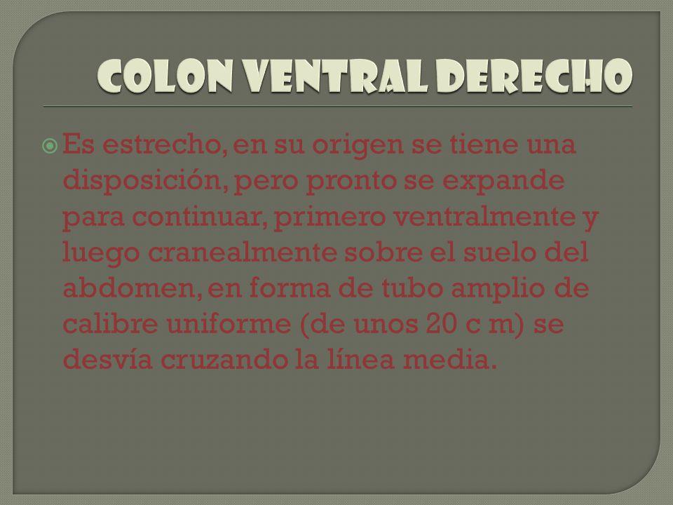 Colon ventral derecho