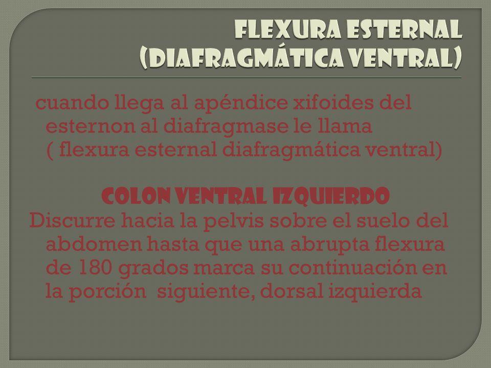 flexura esternal (diafragmática ventral)